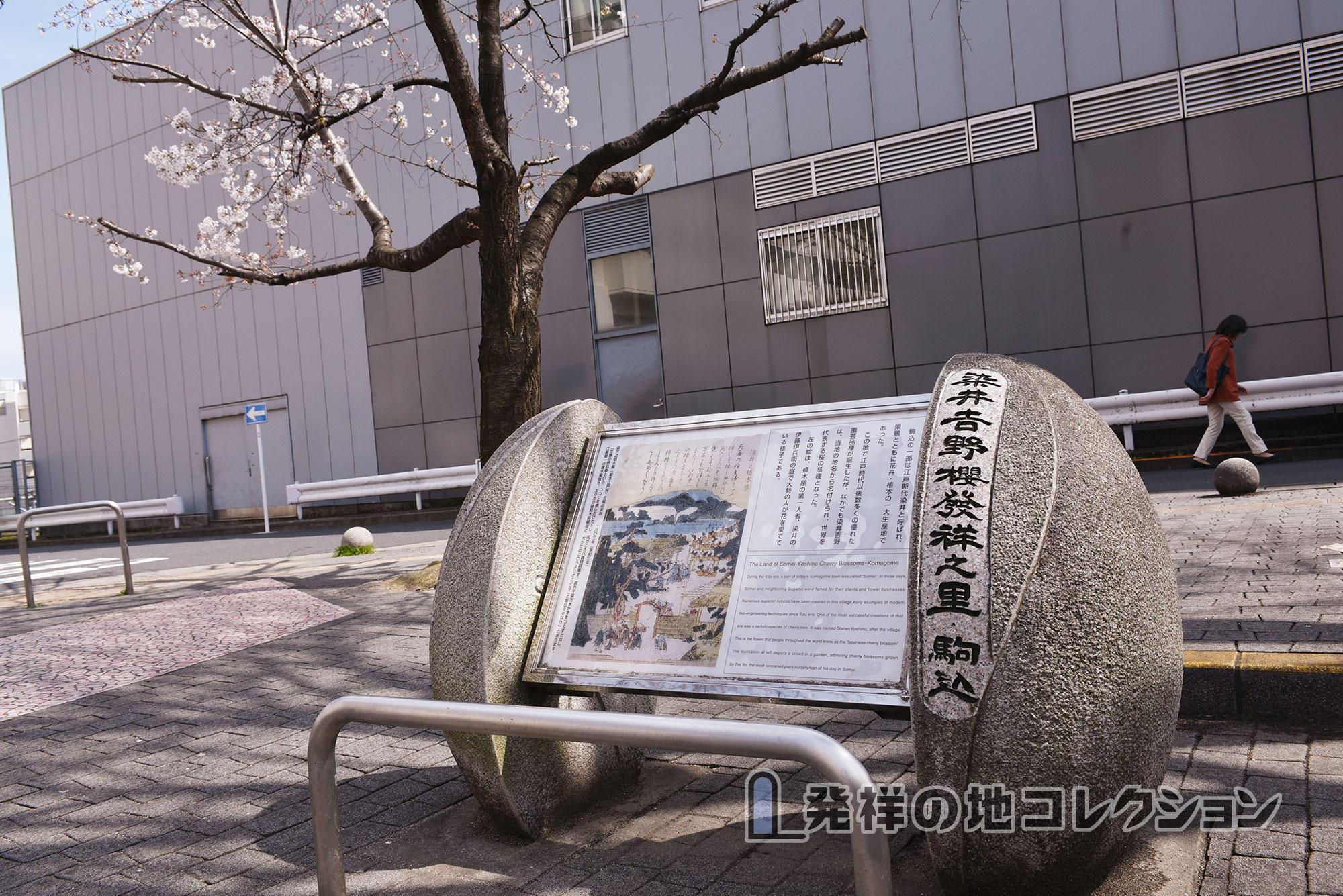 染井吉野桜記念公園(2016)